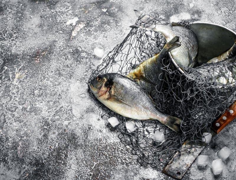 Ny improviserad Dorado fisk i en gammal hink med fisknät royaltyfri foto