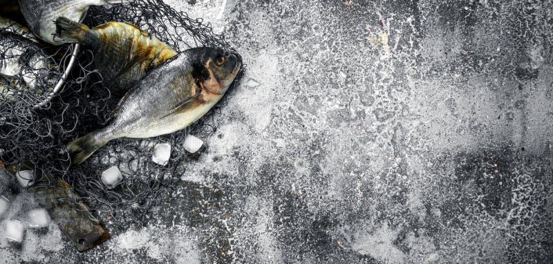 Ny improviserad Dorado fisk i en gammal hink med fisknät arkivfoto
