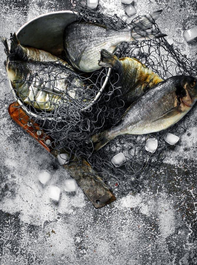 Ny improviserad Dorado fisk i en gammal hink med fisknät arkivfoton