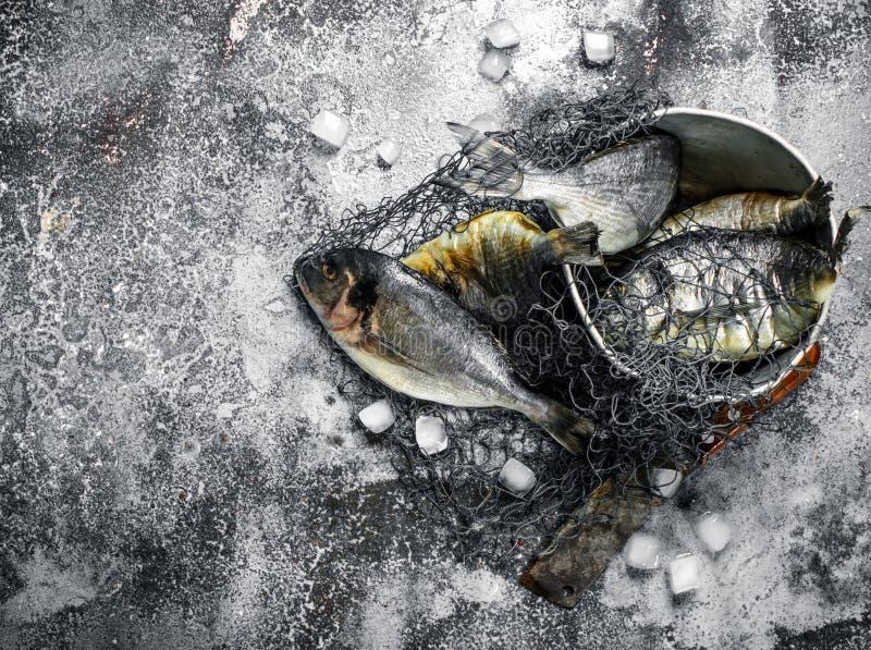 Ny improviserad Dorado fisk i en gammal hink med fisknät fotografering för bildbyråer