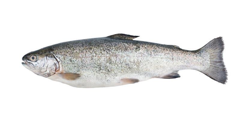 ny isolerad forell för fisk fotografering för bildbyråer