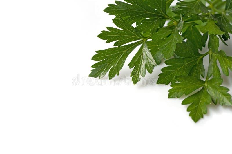 ny italiensk parsley royaltyfri fotografi
