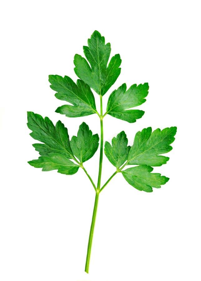 ny italiensk parsleywhite för bakgrund arkivfoto