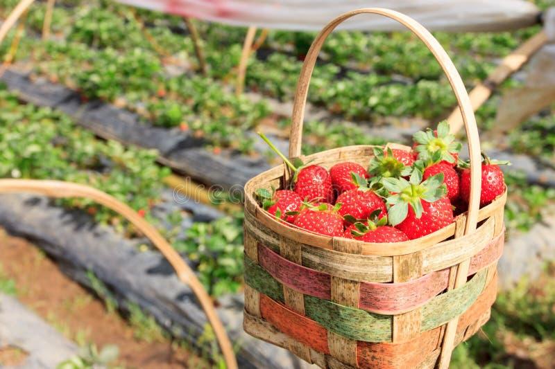 Ny jordgubbe i en korg royaltyfria bilder