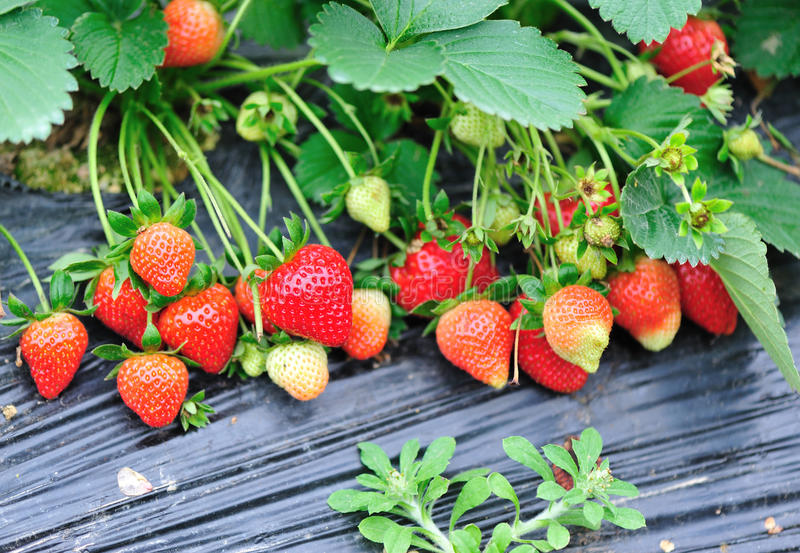 ny jordgubbeväxt arkivbilder