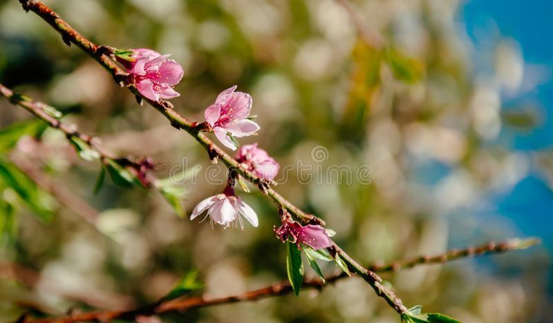 Ny körsbärsröd blomning på dess filial i vårsäsong royaltyfri fotografi