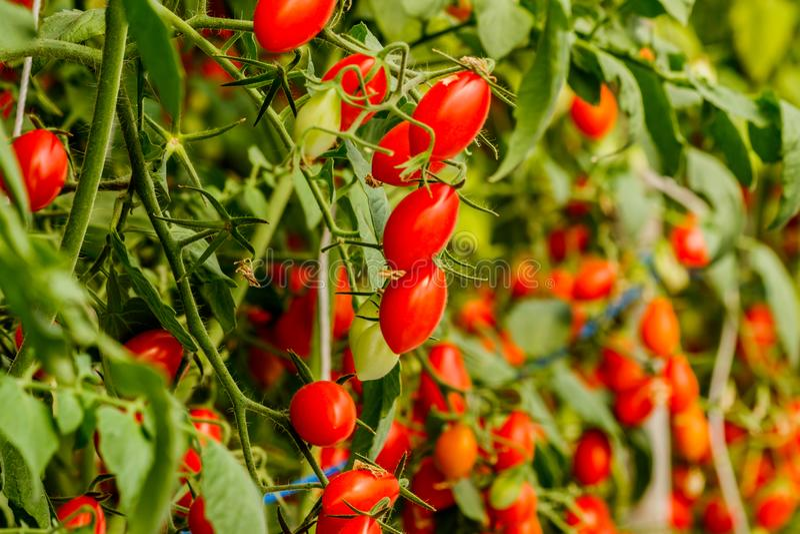 Ny körsbärsröd tomat på en filial i trädgården royaltyfri foto