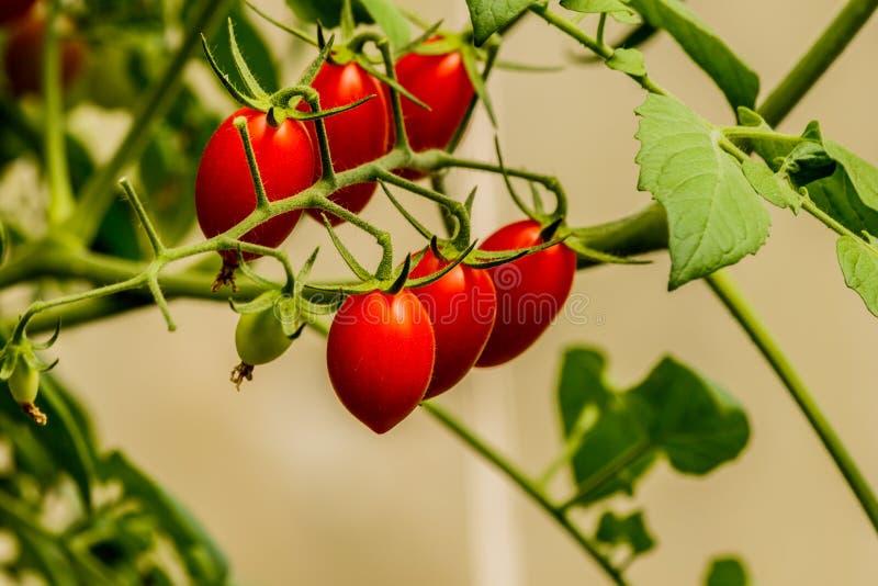Ny körsbärsröd tomat på en filial i trädgården fotografering för bildbyråer