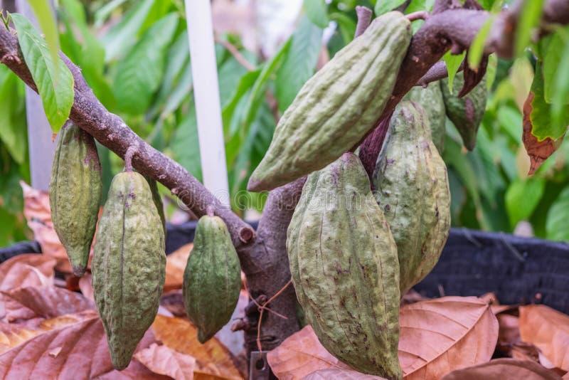 Ny kakaofrukt på kakaoträdet arkivbilder