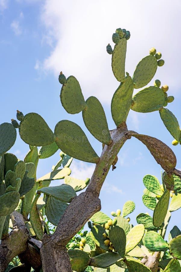 Ny kaktusnärbild Grön vegetativ kaktus med ryggar på bakgrund för blå himmel arkivbilder