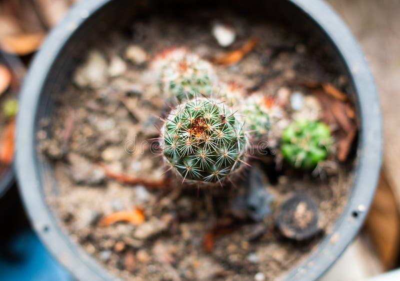 Ny kaktusväxt med taggiga päron Kaktus för bästa sikt för makro royaltyfri bild