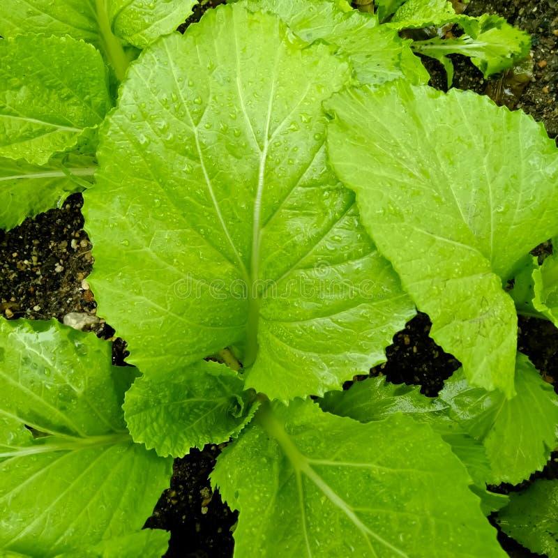 Ny kinakål från grönsaker arkivfoton