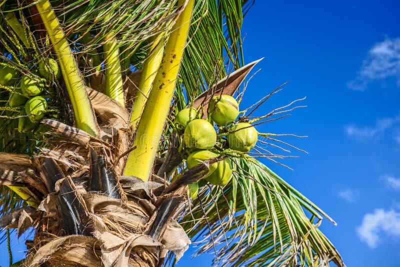 Ny kokosnöt på kokospalmen Grön kokosnöt på palmträdet royaltyfri fotografi