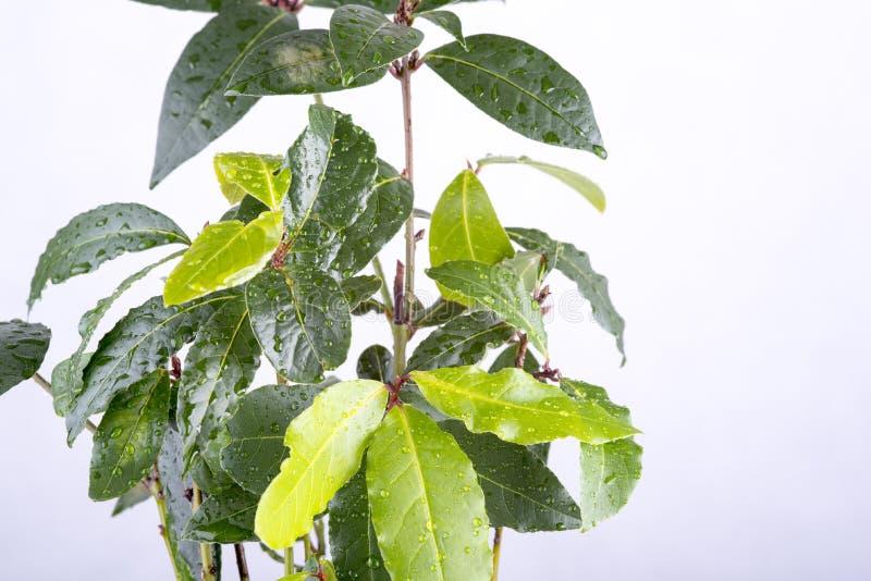 Ny kvist av lagerbladen arkivfoto