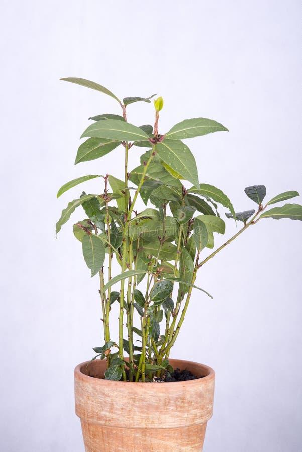 Ny kvist av lagerbladen arkivbild