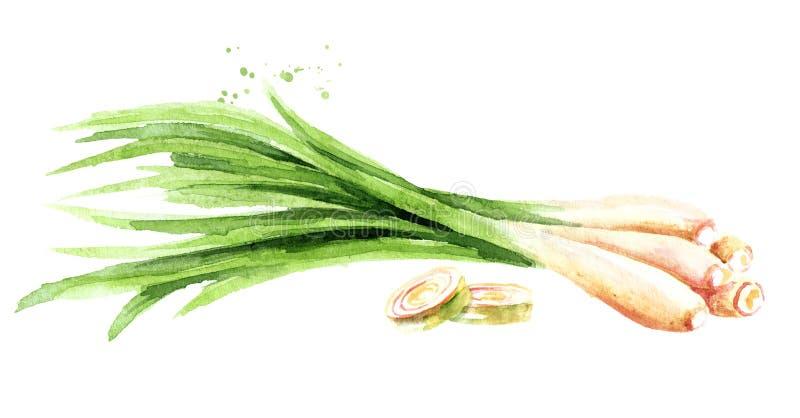 Ny lemongrassväxt och två skivor Dragen illustration för vattenfärg som hand isoleras på vit bakgrund royaltyfri illustrationer