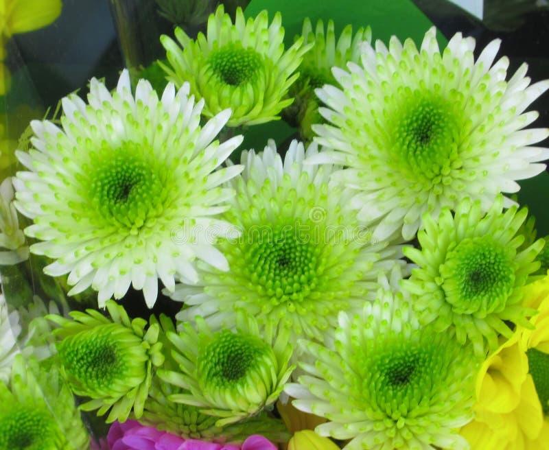 Ny ljus nätt gräsplan Dahlia Flowers Bouquet för Closeup royaltyfri bild
