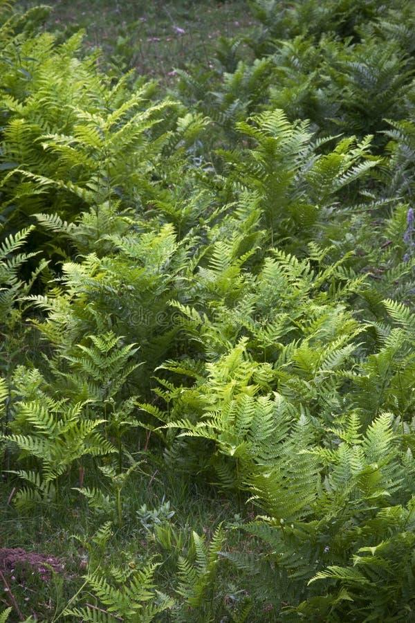ny modell för ferns arkivfoto