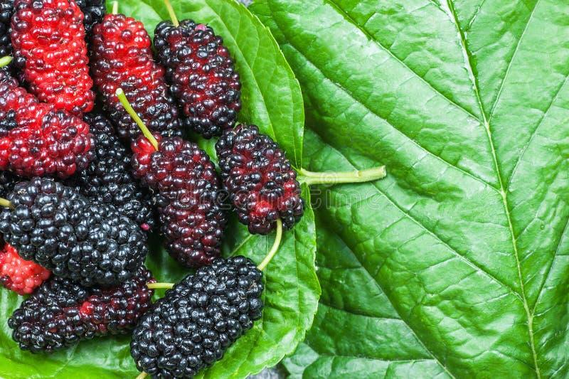 Ny mogen bärfrukt för svart mullbärsträd på bladbakgrund, begrepp för frukter för björnbärsommar rött royaltyfria foton