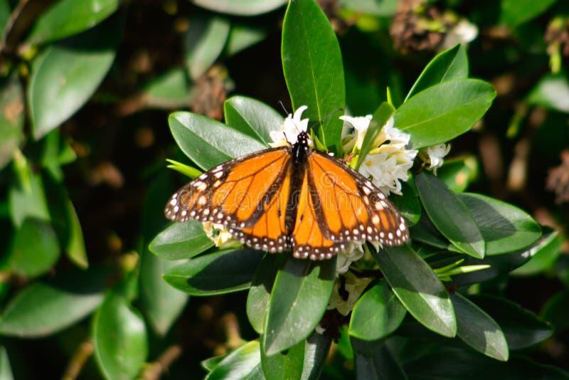 Ny monark för säsongfjärils` som s låter mig ta bilder arkivbild