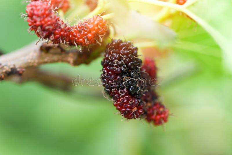 Ny mullbärsträd på träd/mogen frukt för röda mullbärsträd på filial och det gröna bladet i trädgårdbakgrunden royaltyfri fotografi