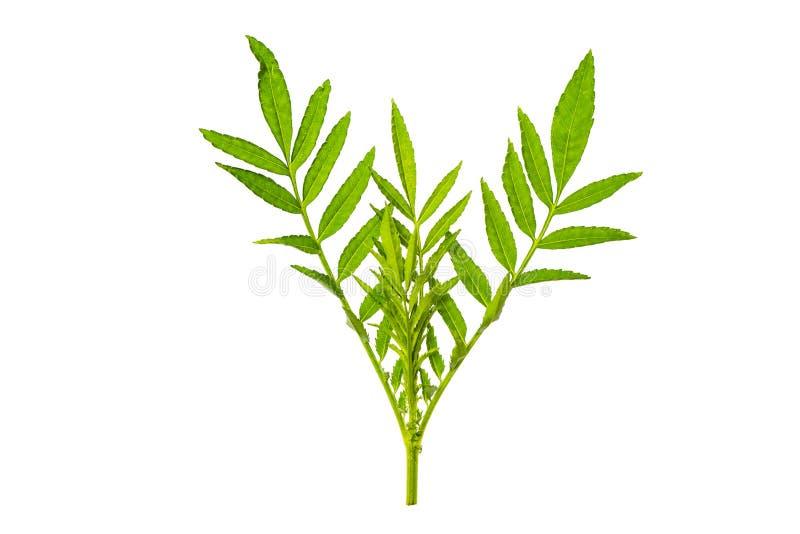 Ny och grön tropisk och trädgårds- trädbladtextur grön lea royaltyfria foton