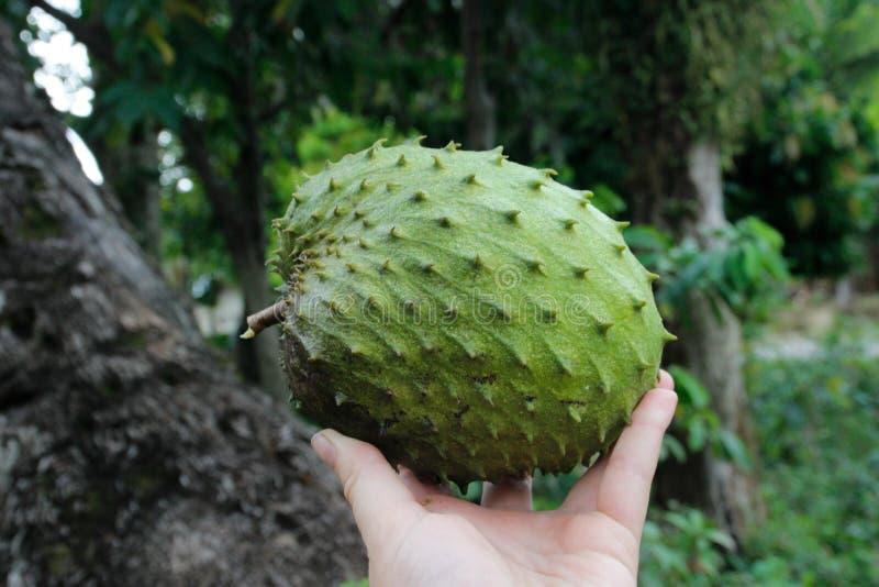 Ny och saftig asiatisk exotisk frukt för Soursop arkivfoto