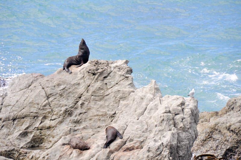 Download Ny Ohaupunkt Förseglar Wild Zealand Fotografering för Bildbyråer - Bild av kust, djurliv: 19777073
