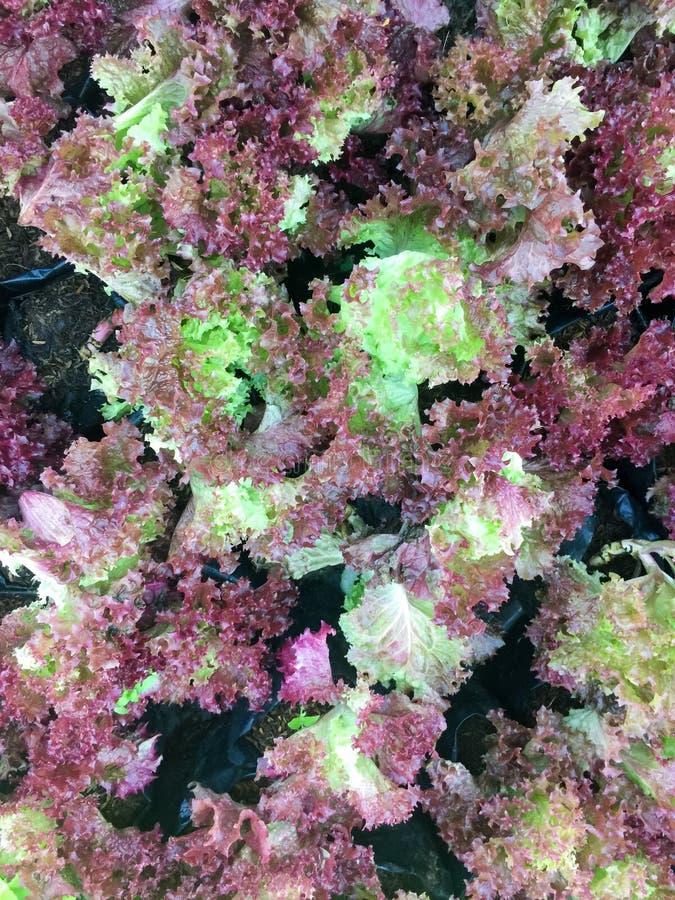 Ny organisk för bladgrönsallat för röd ek lantgård för grönsak för sallad bakgrund för mat för rå veggies för lollarosa grönsalla arkivbild