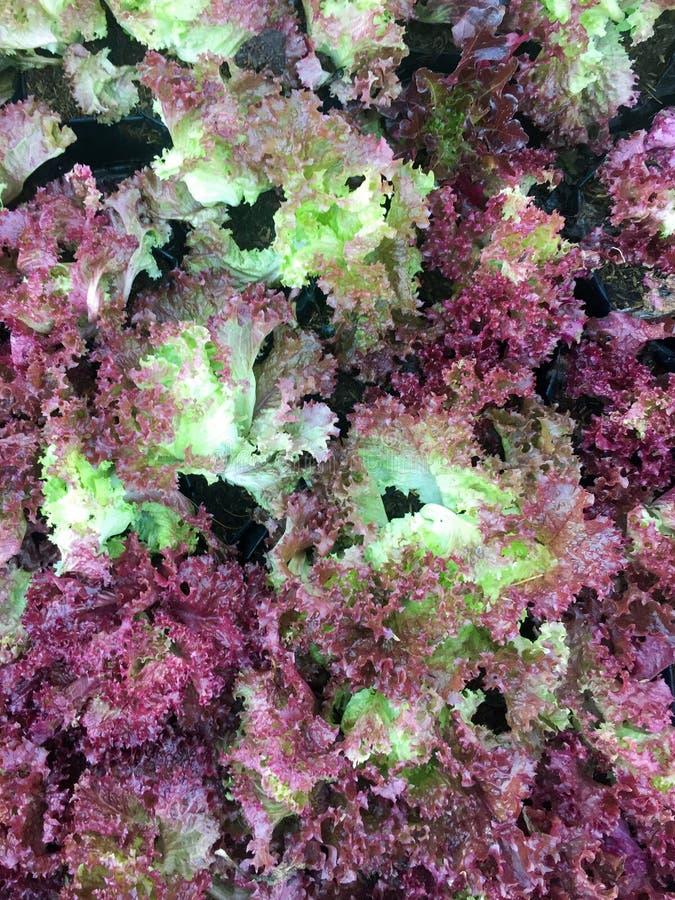 Ny organisk för bladgrönsallat för röd ek lantgård för grönsak för sallad bakgrund för mat för rå veggies för lollarosa grönsalla arkivfoton