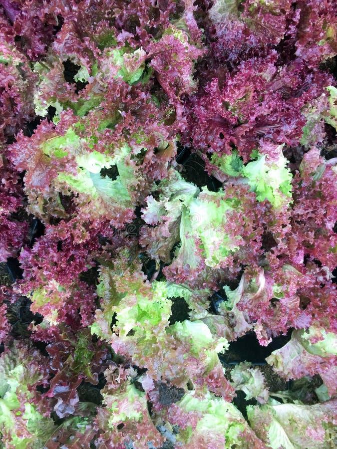 Ny organisk för bladgrönsallat för röd ek lantgård för grönsak för sallad bakgrund för mat för rå veggies för lollarosa grönsalla royaltyfri bild