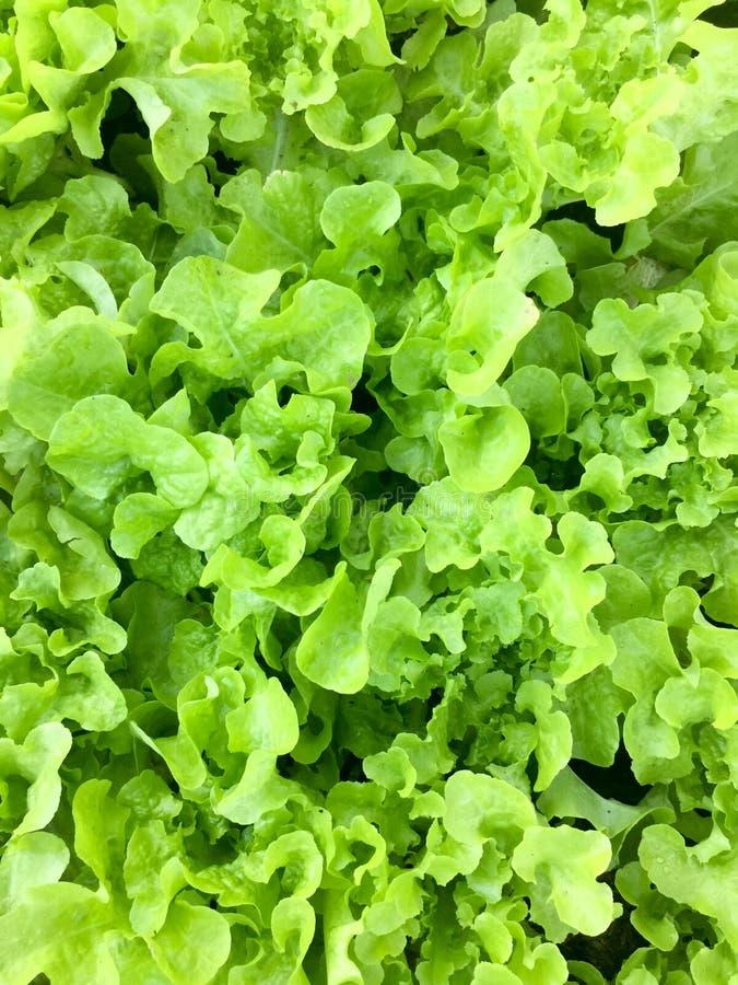 Ny organisk grön lantgård för grönsak för sallad för ekbladgrönsallat naturlig matbakgrund för rå sunda veggies Top beskådar royaltyfri bild