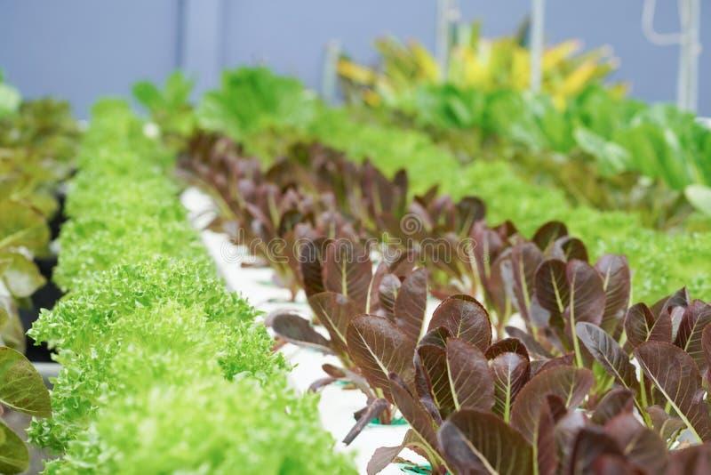 Ny organisk kultur för röd ek i aquaponic eller hydroponic farmin arkivfoto