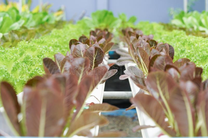 Ny organisk kultur för röd ek i aquaponic eller hydroponic farmin arkivbilder