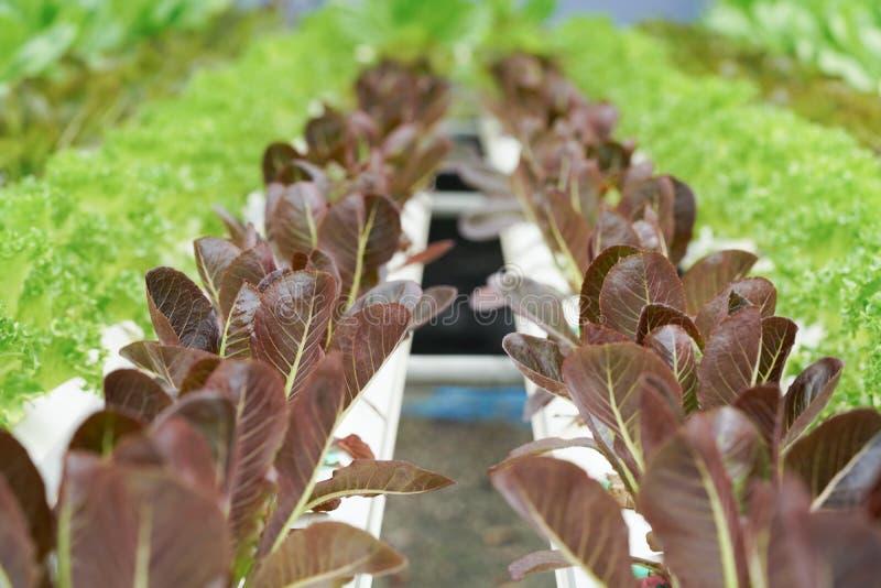 Ny organisk kultur för röd ek i aquaponic eller hydroponic farmin royaltyfri foto