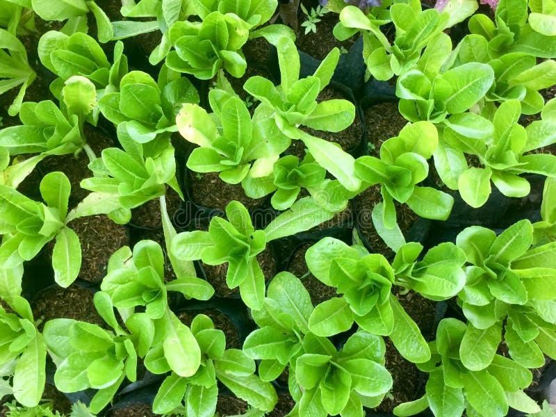 Ny organisk lantgård för grönsak för grön sallad naturlig matbakgrund för rå sunda veggies Top beskådar arkivbild