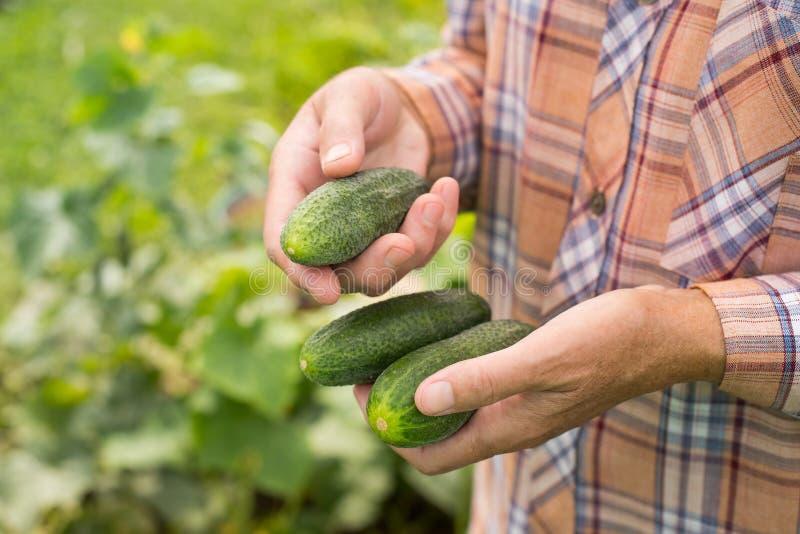 Ny organisk mogen grönsak av gurkan på händer av åldring Wom royaltyfri fotografi