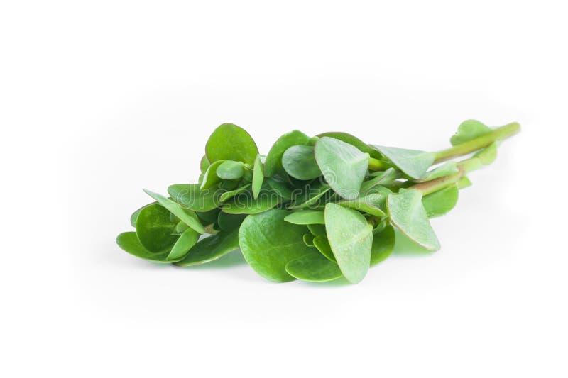 Ny purslanePortulaca oleracea, ätliga ogräs som isoleras på vit bakgrund arkivfoto