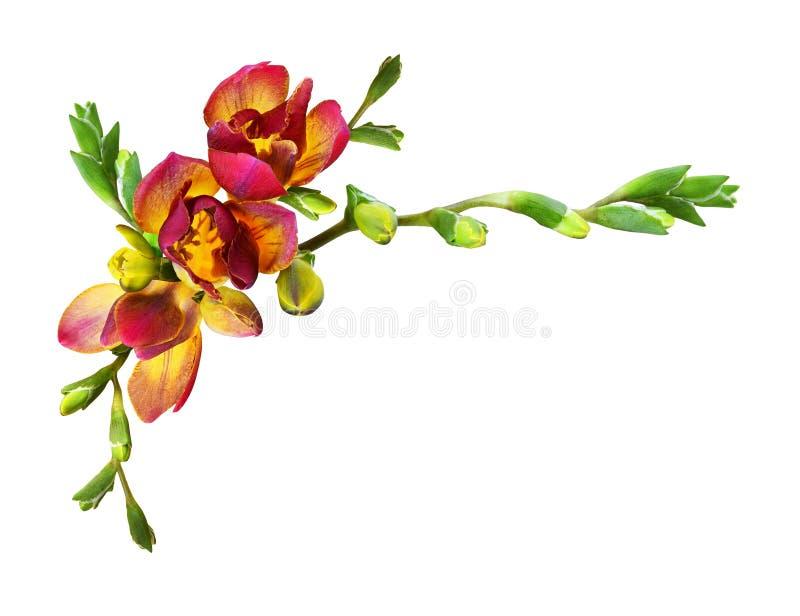 Ny röd freesia blommar och slår ut i en hörnsammansättning royaltyfri foto