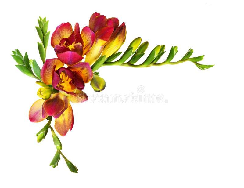 Ny röd freesia blommar och slår ut i en hörnsammansättning royaltyfri fotografi