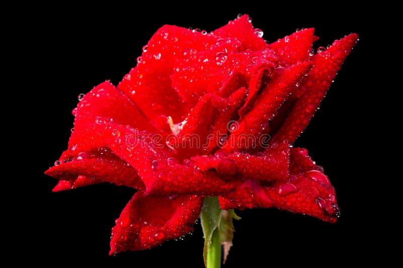 Ny röd rosblomma för makro på filial med det gröna bladet isolerat royaltyfri foto