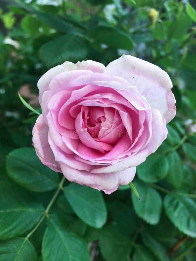 Ny rosa rosa närbild på grön bakgrund arkivfoto