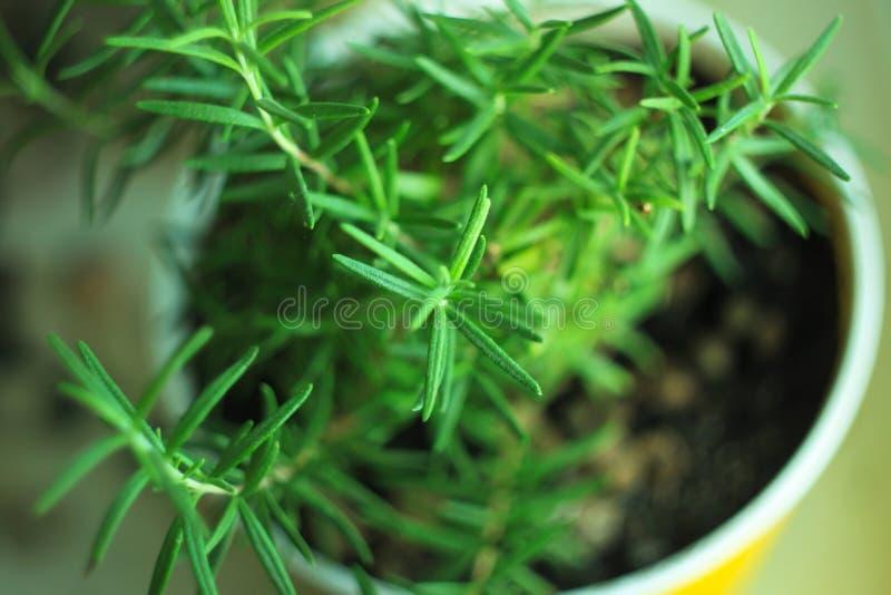 Ny rosmarinört i blomkruka på en fönsterbräda Sund mat, gräsplaner, strikt vegetarian, rå organiska produkter, vitaminer, mineral arkivfoton