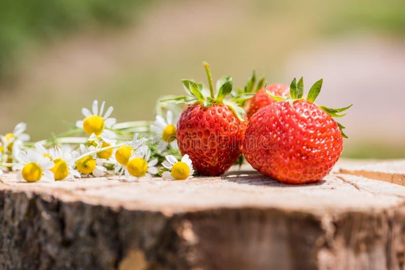 Ny söt jordgubbe som isoleras på den ljusa solen Solen är glänsande ljust Grönt gräs arkivbilder