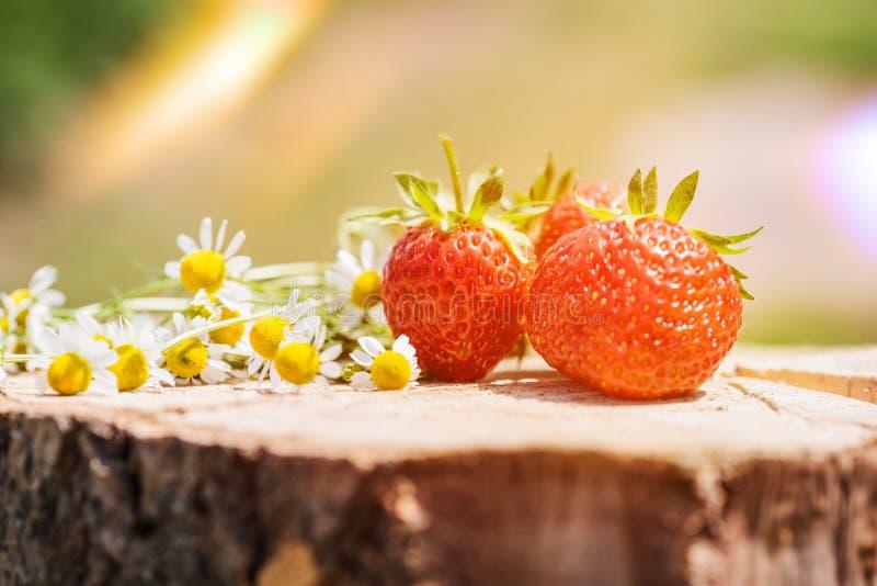Ny söt jordgubbe som isoleras på den ljusa solen Solen är glänsande ljust Grönt gräs fotografering för bildbyråer