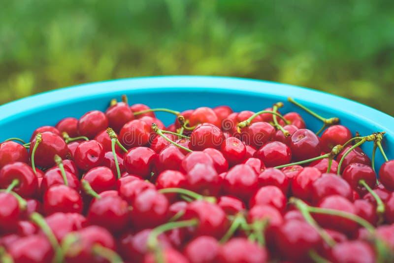 Ny söt röd körsbär i en bunke fotografering för bildbyråer