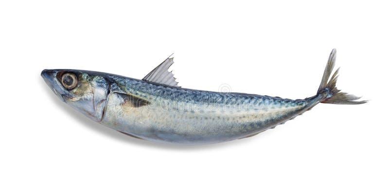 Ny sabafiskmakrill som isoleras på vit bakgrund Spara innehåller en snabb bana royaltyfri bild