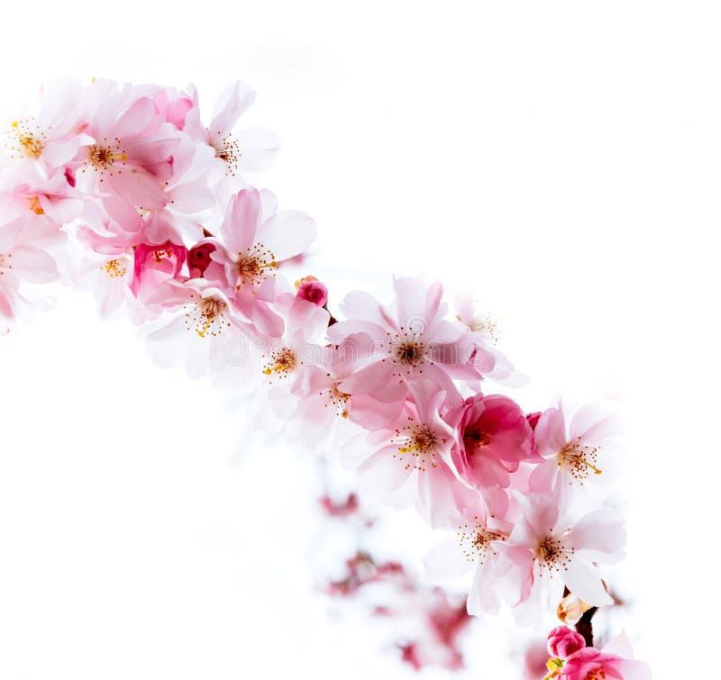 Ny sakura körsbärsröd blomning i trädgård arkivfoto