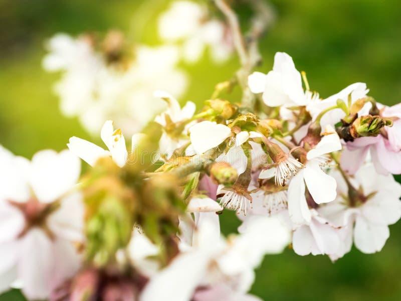 Ny sakura körsbärsröd blomning i trädgård arkivfoton