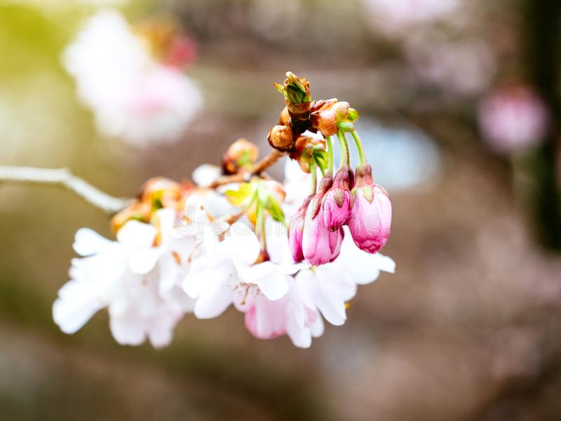 Ny sakura körsbärsröd blomning i trädgård royaltyfria bilder